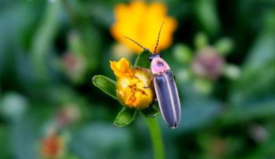 firefly on flower bud.jpg