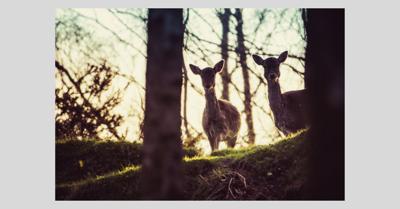 Deer_stock_canva_2019.png