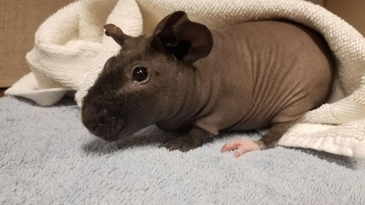 2020-07-29 SPCA Pet of the Week 2.jpg