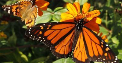 monarch and skipper butterfly.jpg