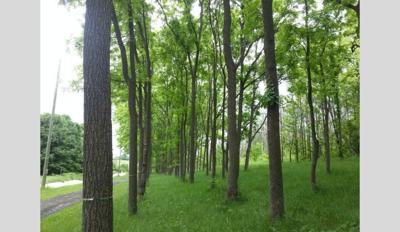 penn state walnut trees.jpg