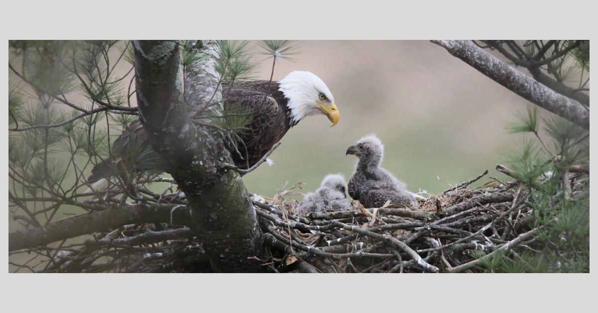 Bald eagle 1_2019.jpg