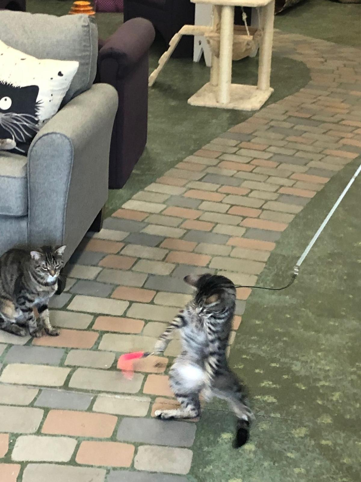 Cats playing at Cat Tales Cat Cafe