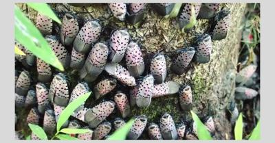 lanternfly cluster.jpg