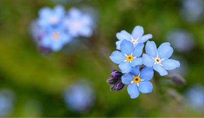 forget me not obit 1 new size