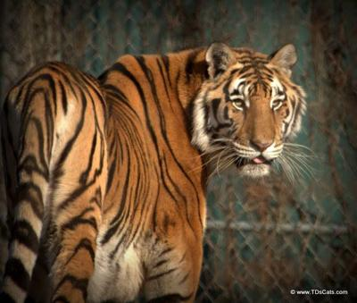 T&D's Cats of the World - Asia the tiger
