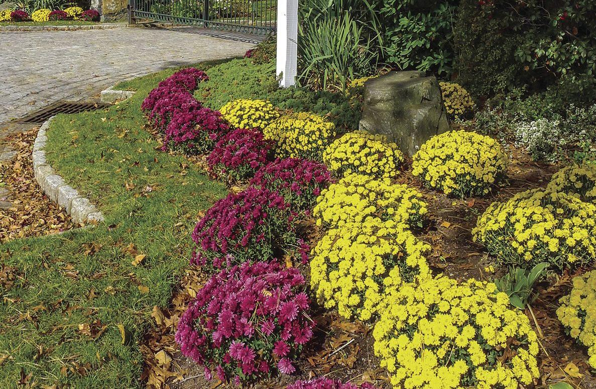 Autumn is prime time to tend lawn and gardens home and garden mums are perennials when properly planted and cared for they can bloom every autumn izmirmasajfo