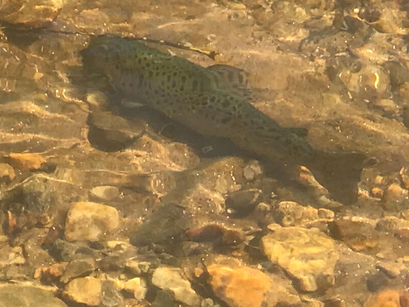 trout 2