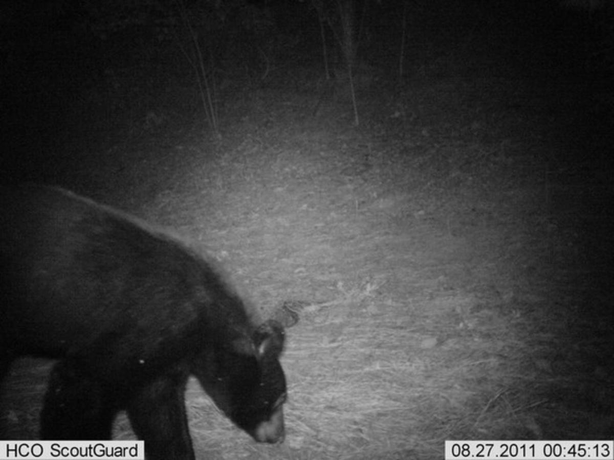 North Fulton bear might be heading for Lake Lanier area
