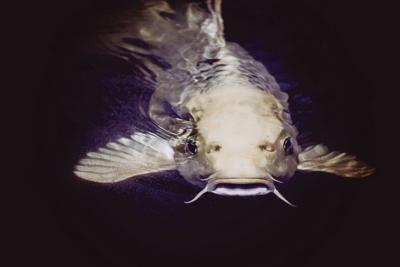 Steve catfish