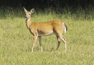 Deer Get outside Georgia