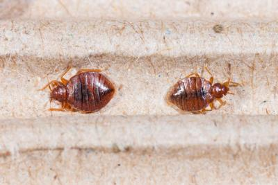 An Example of What a Bed Bug Looks Like