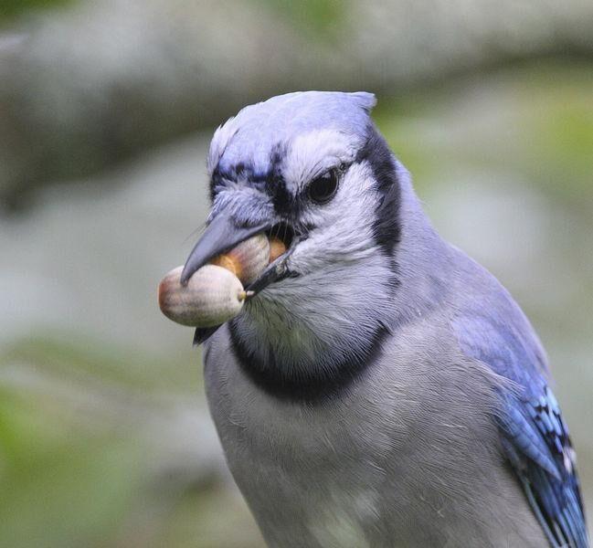 Blue Jay with Acorns.jpg