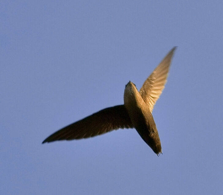 Chimney_swift.jpg