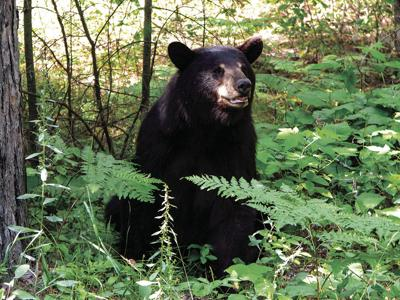 Game Warden Sean Fowler referees increasing black bear encounters