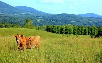 cathi feely cow