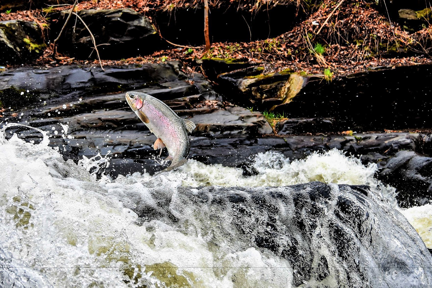 The Steelhead spawning run has brought anglers and viewers to the Willoughby River for years...but is the river changing?