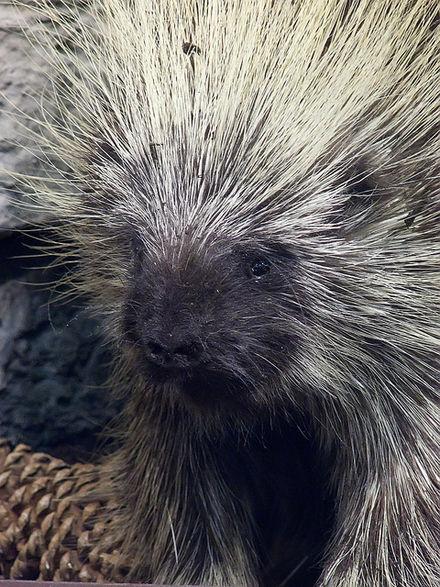 romantic porcupine.jpg