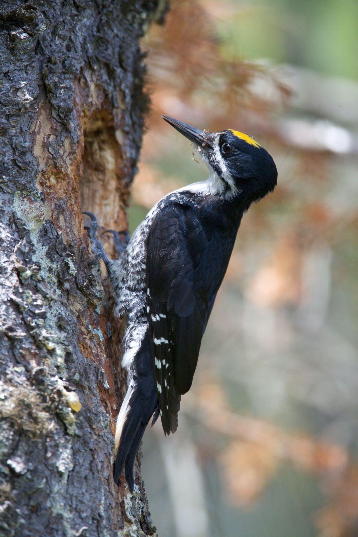 Black-backed Woodpecker.jpg
