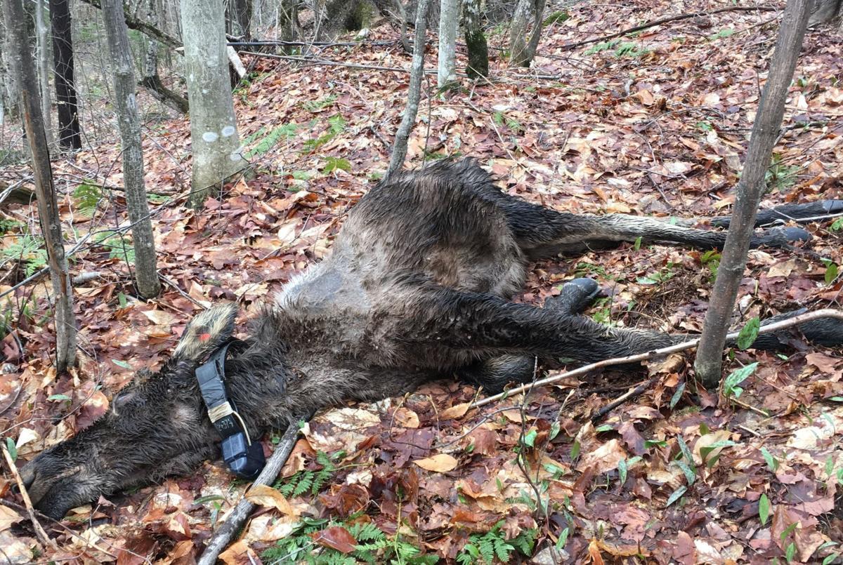 Dead Calf (6).jpg