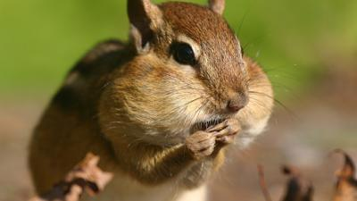 Chipmunk cheeks.jpg
