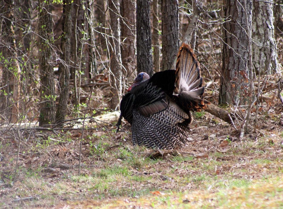 Fantail gobbler at tree line