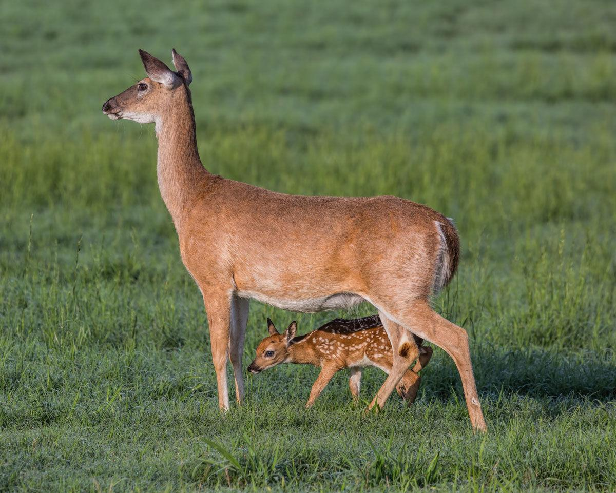 Gina Flanigen doe and fawn