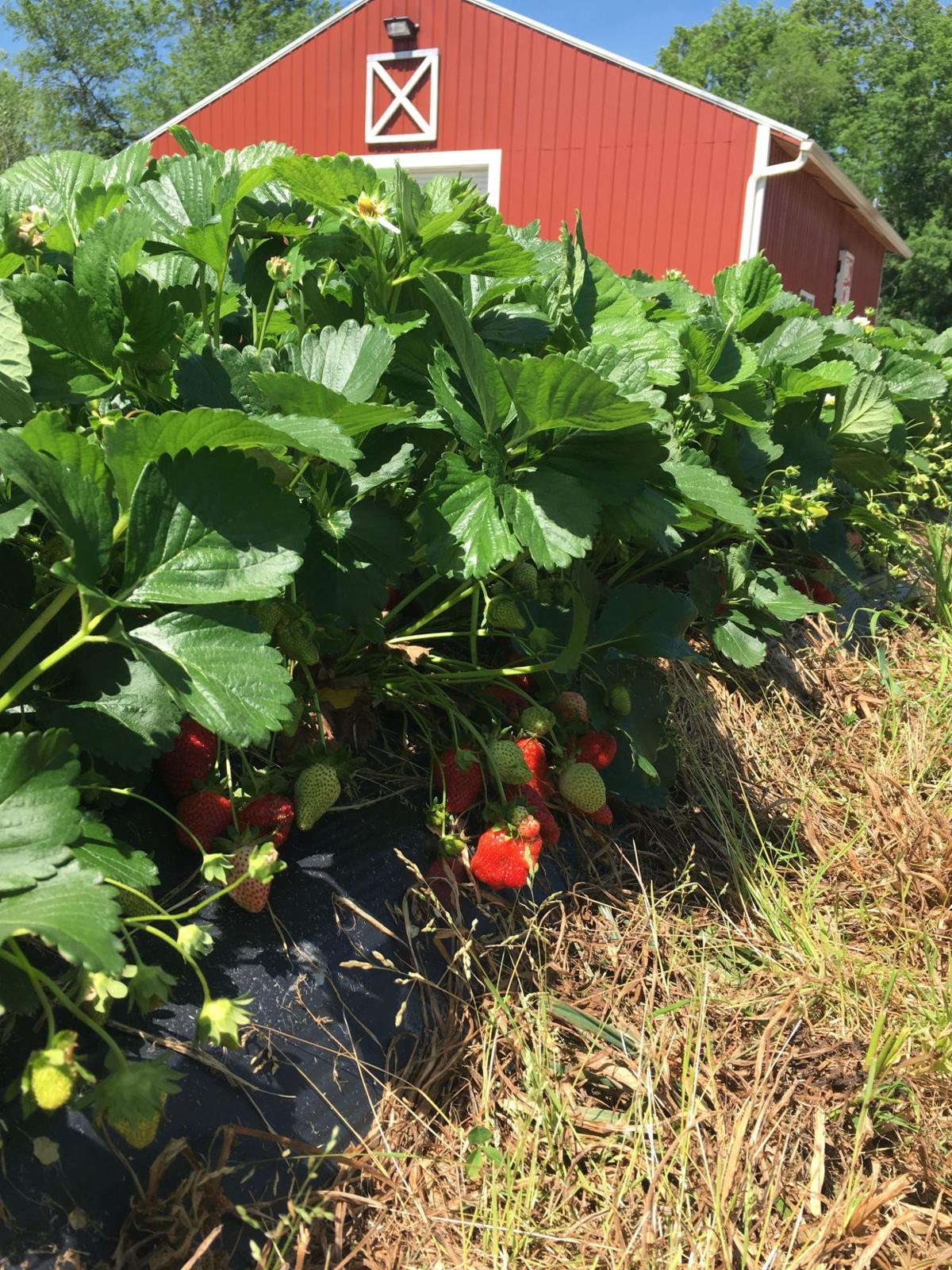 Strawberries ripe for the picking