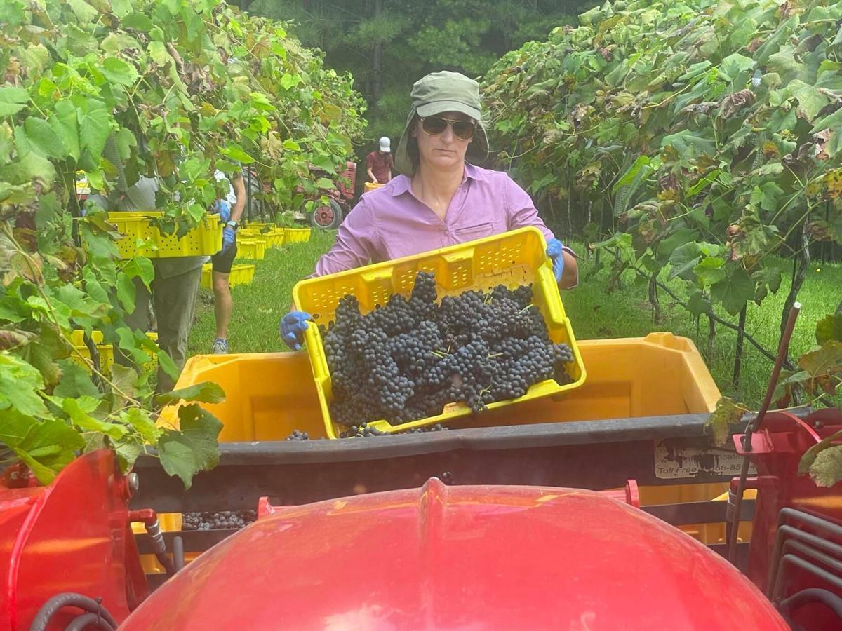Newby Farm and Vineyard in full harvest mode