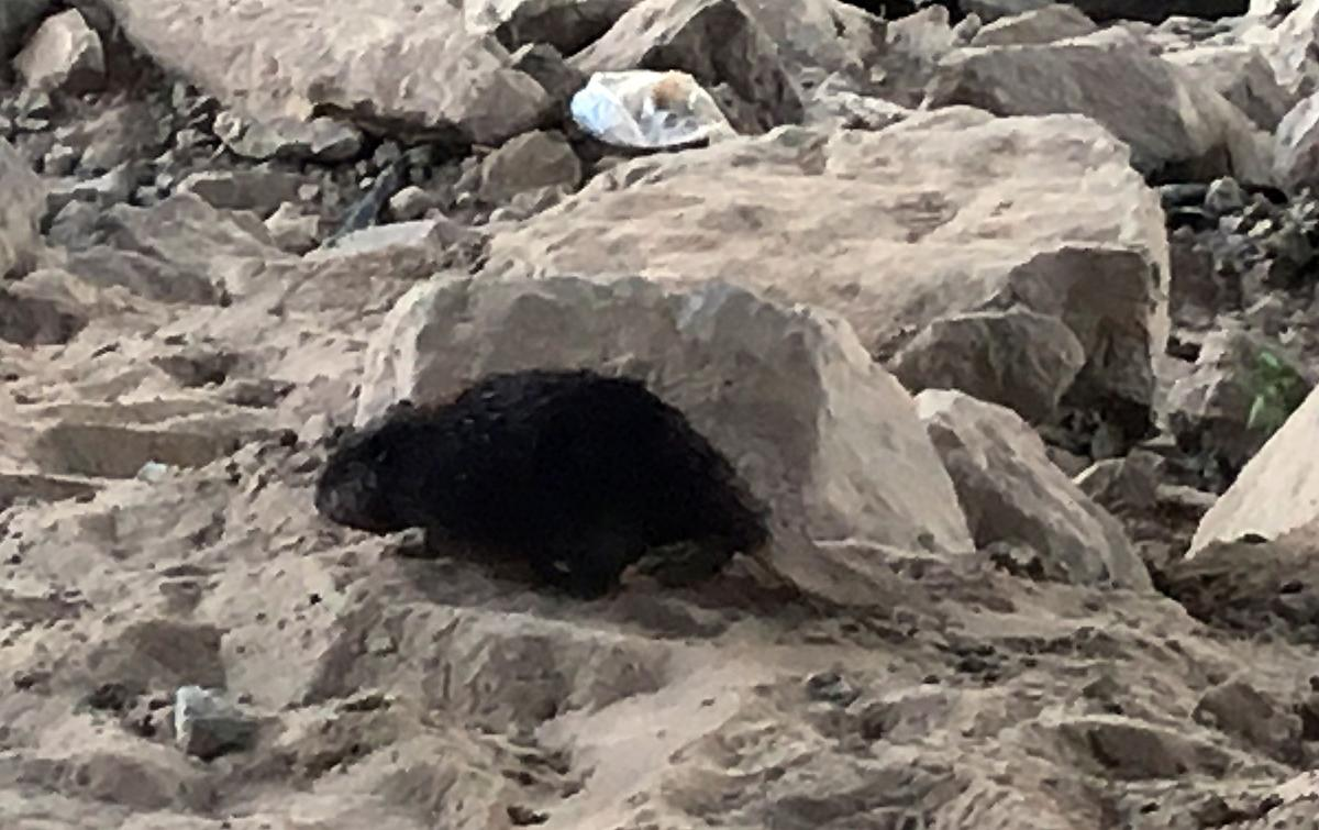 Beaver meanders among rocks off trail under bypass bridge