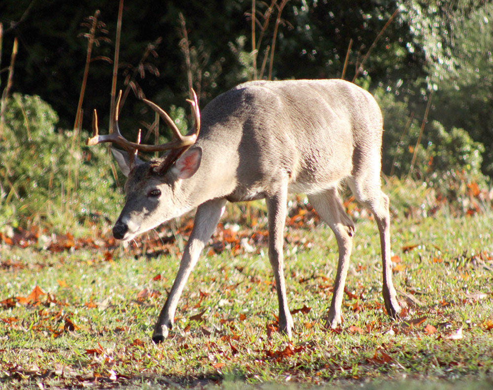 Deer firearms season opens Saturday