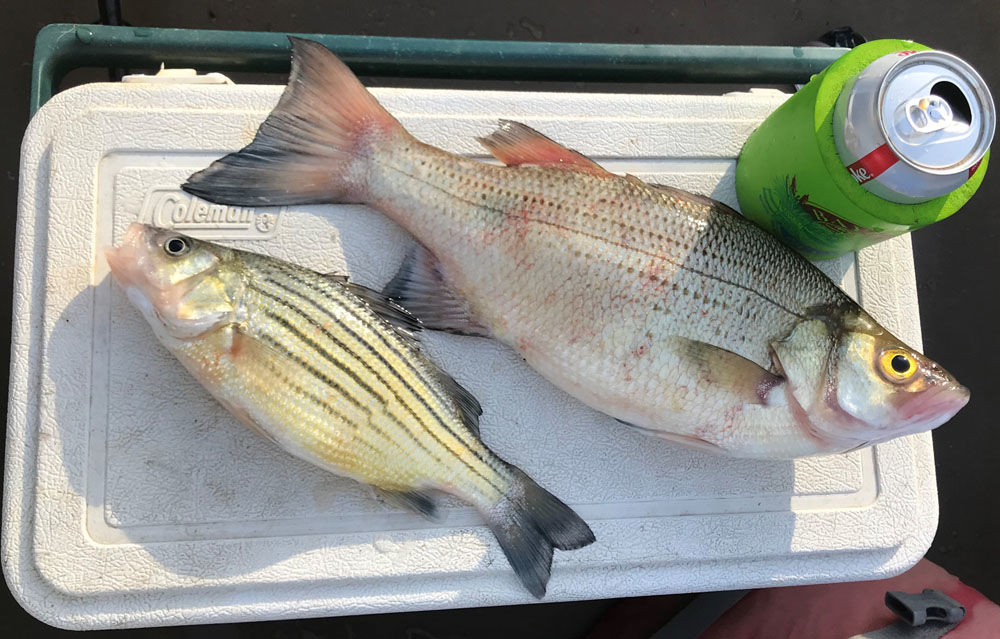 Yellow and White Bass