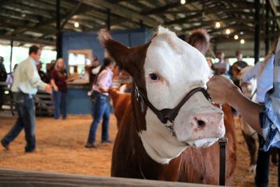 Polk County Livestock Show rewards students' work