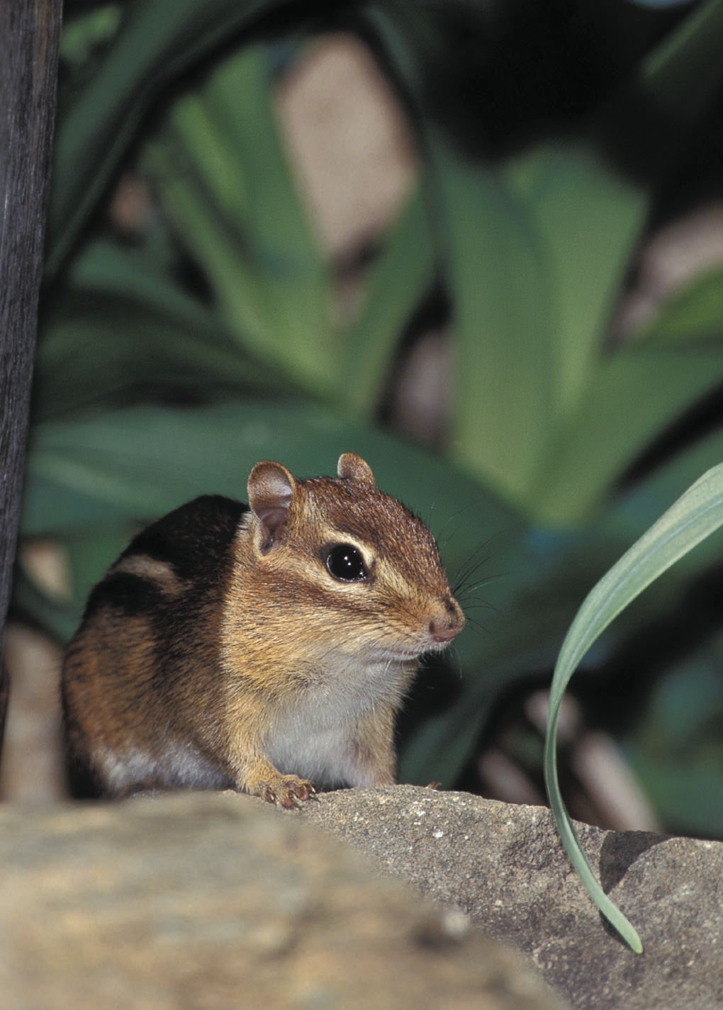 The mighty chipmunk