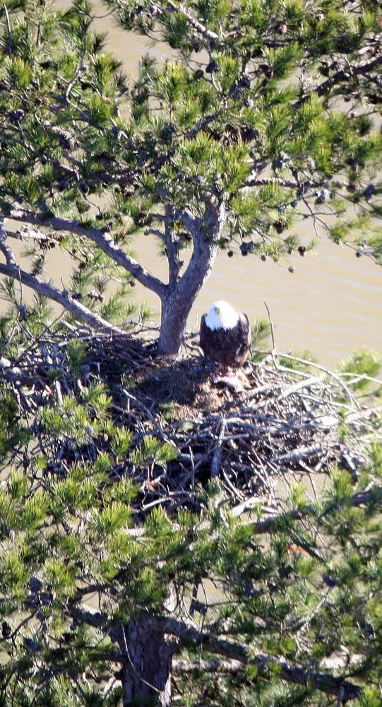 Bald eagle survey
