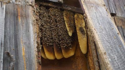Bees in the Trees: Unusually warm weather is bringing out honey bee