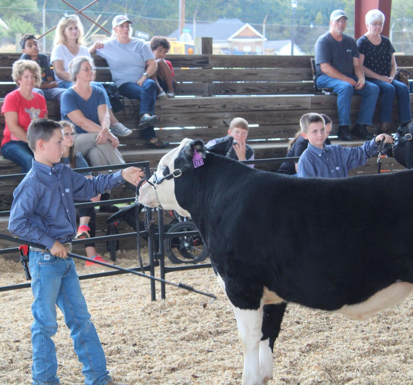 Beef livestock showing at Coosa Valley Fair