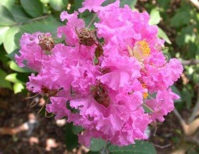 Crape myrtle a summertime sensation local northwestgeorgianews crape myrtle culture in georgia mightylinksfo