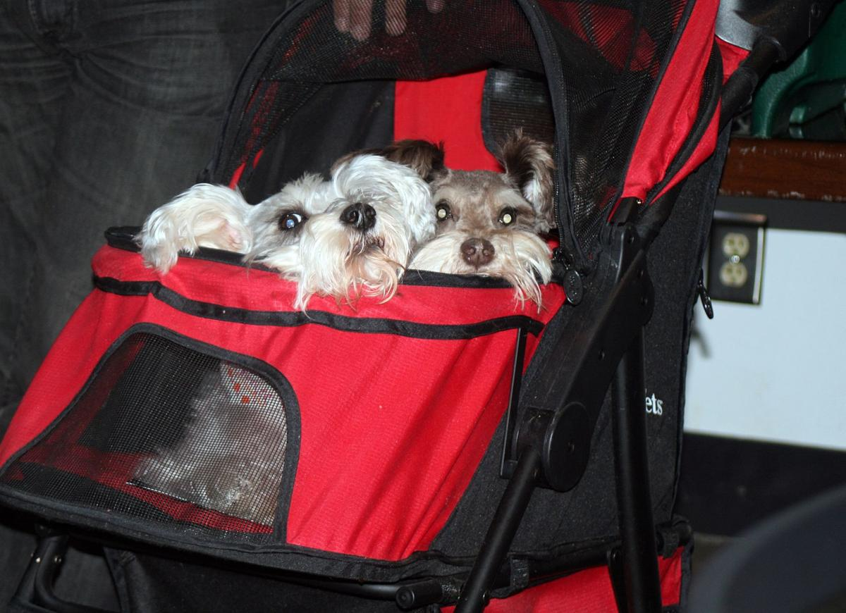 Schnauzerfest promises to bring visitors from around the world