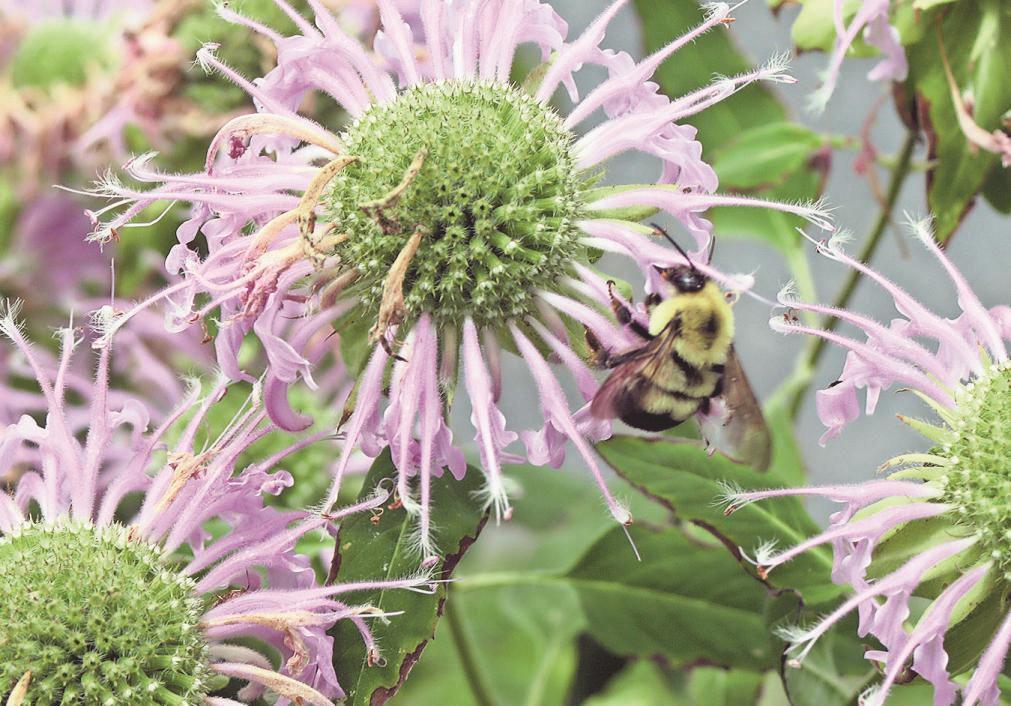 Museum garden part of bee plan