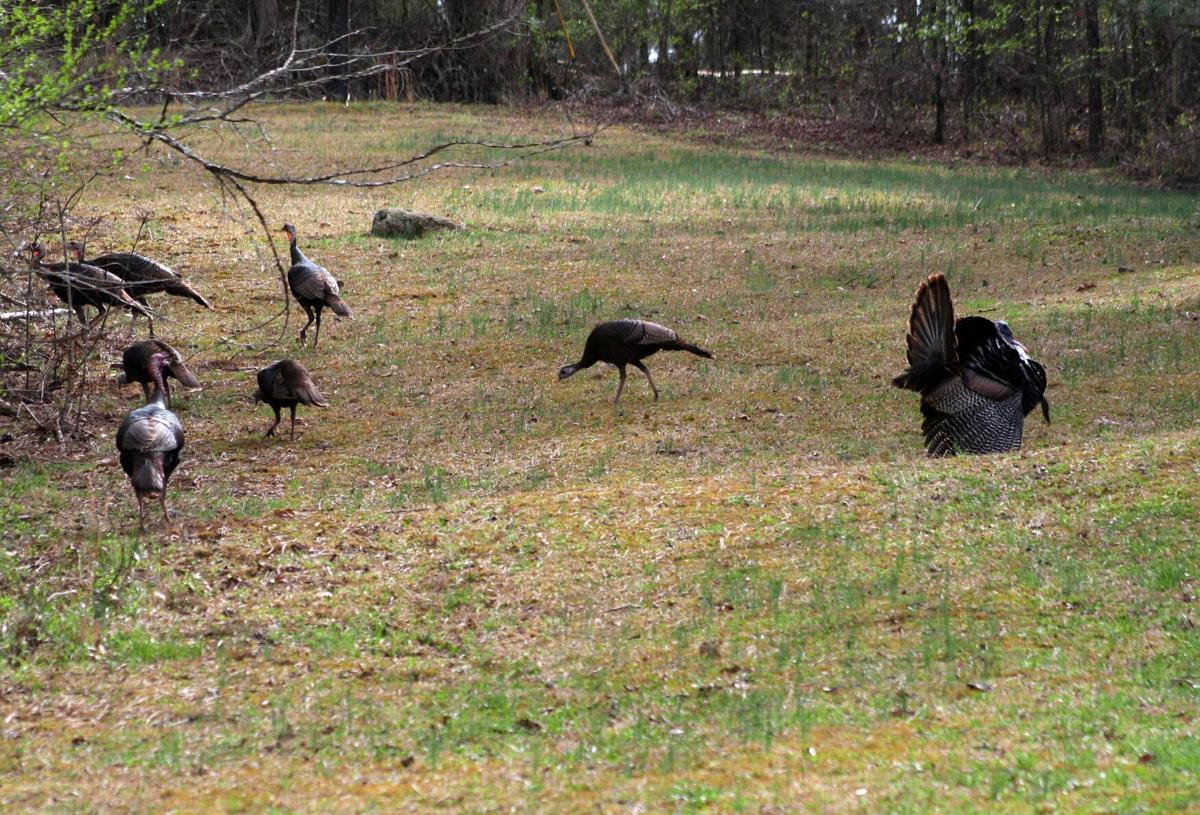 Gobbler turns back on hens