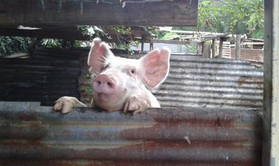Agricultores claman por ayuda ante posible plaga de cerdos salvajes