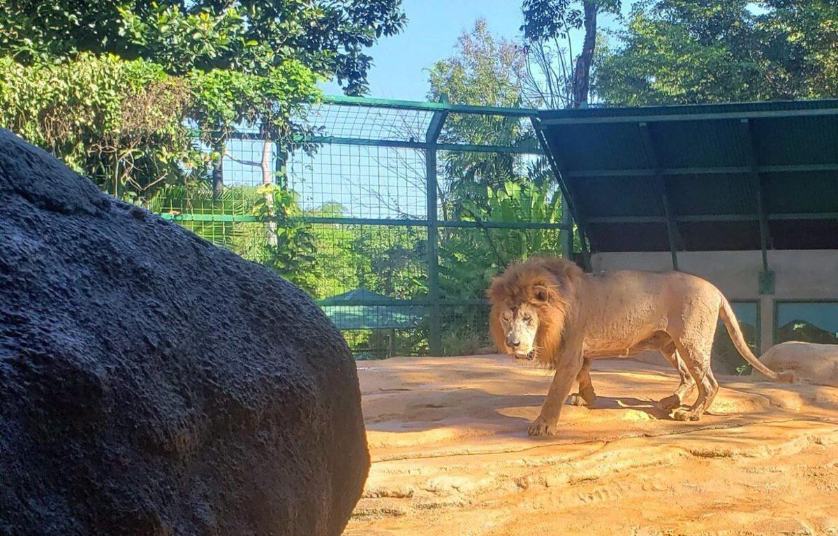 Zoologico - Mayaguez - leon - animal - Foto suministrada - junio 26 2020