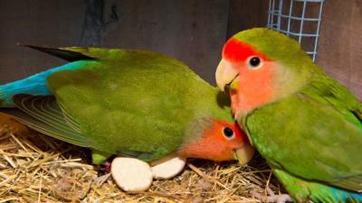Aves - love birds - captura de pantalla - mayo 18 2020