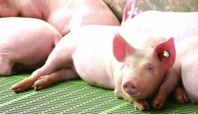 Cerdos - granja - Captura de pantalla YouTube - junio 30 2020