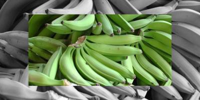 Le rajan una ceja por racimo de plátano