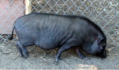cerdo vietnamita - Foto suministrada - mayo 15 2019