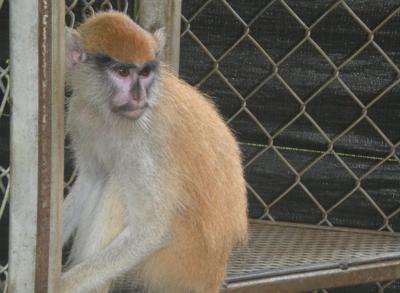 Mono Monos Patas y Macacos Rhesus - Foto via Recursos Naturales DRNA - junio 8 2021