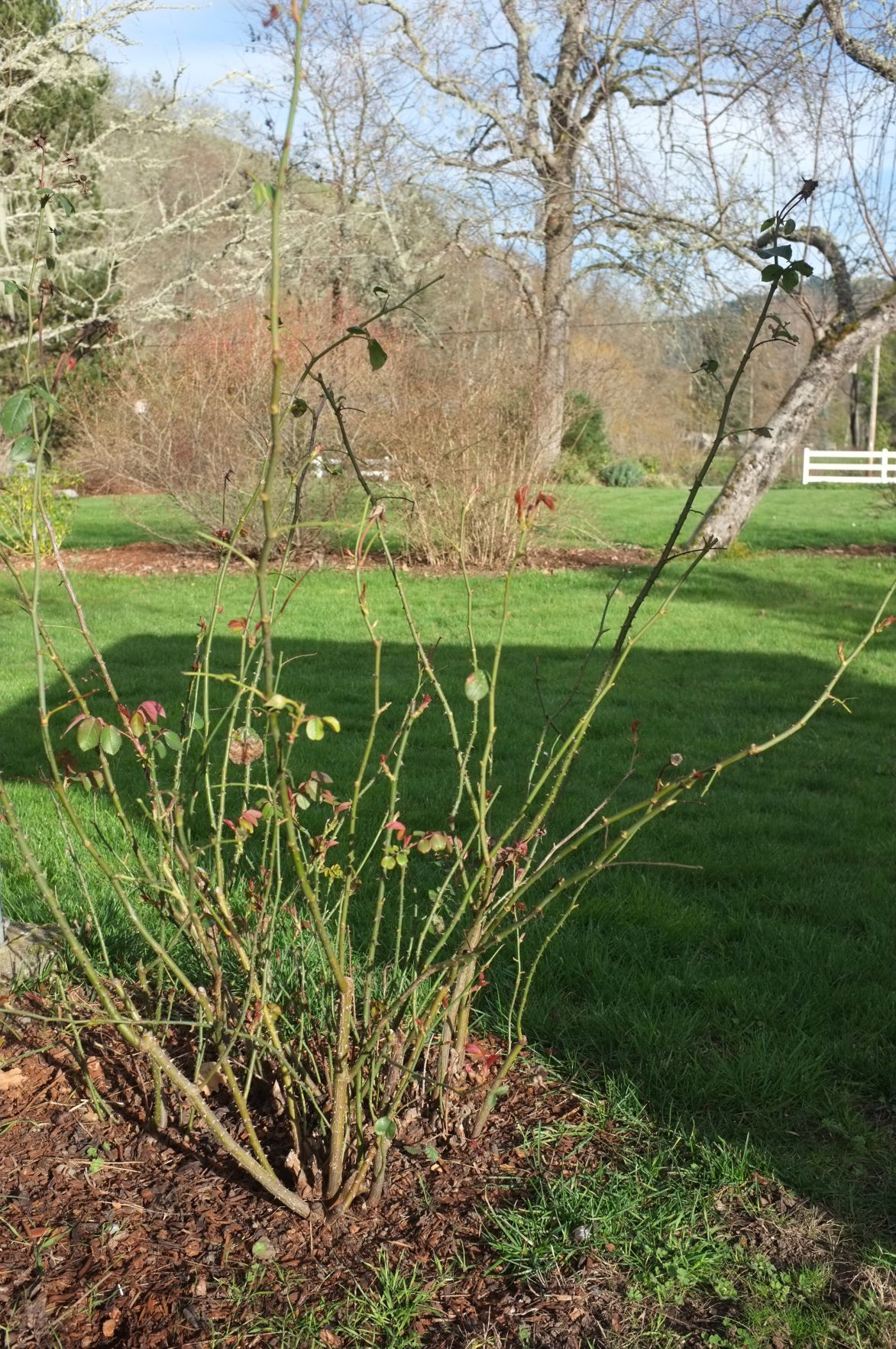 Ask A Master Gardener The Perfect Time For Pruning Roses Home And Garden Nrtoday Com