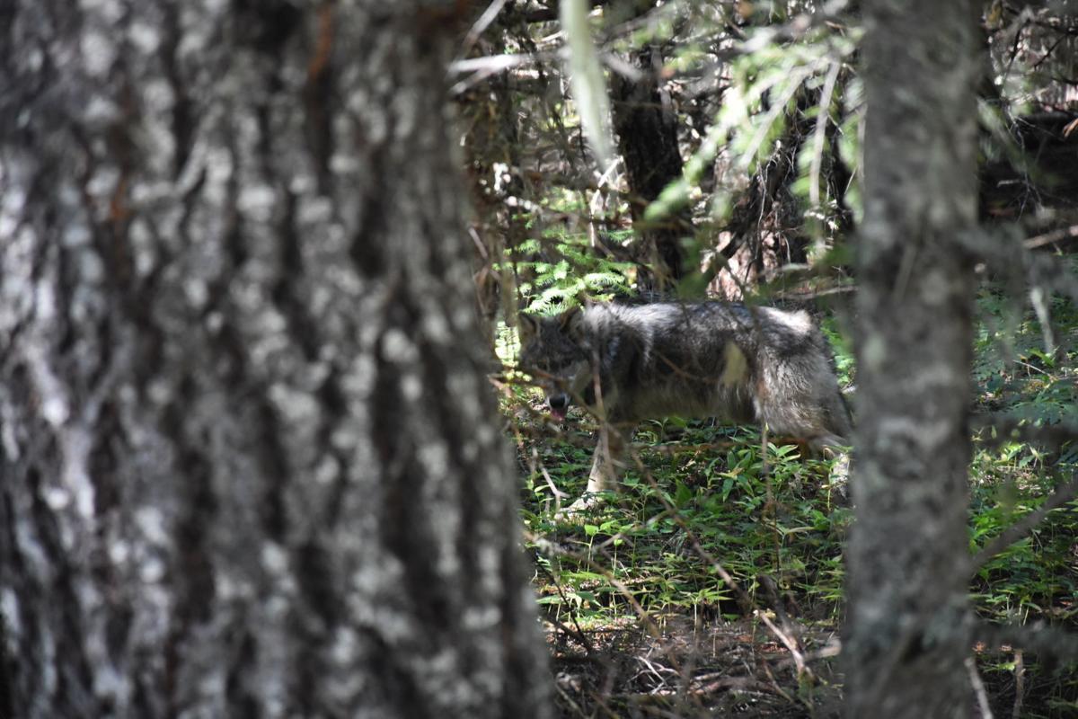 Oregon-Wolf Pups Born